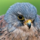 kestrel / torenvalk