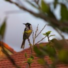 Honeyeater at dusk