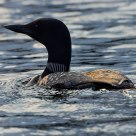 Evening sun catches the common loon