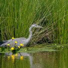 Great Heron