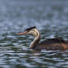 grebes