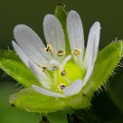 Stellaria Media