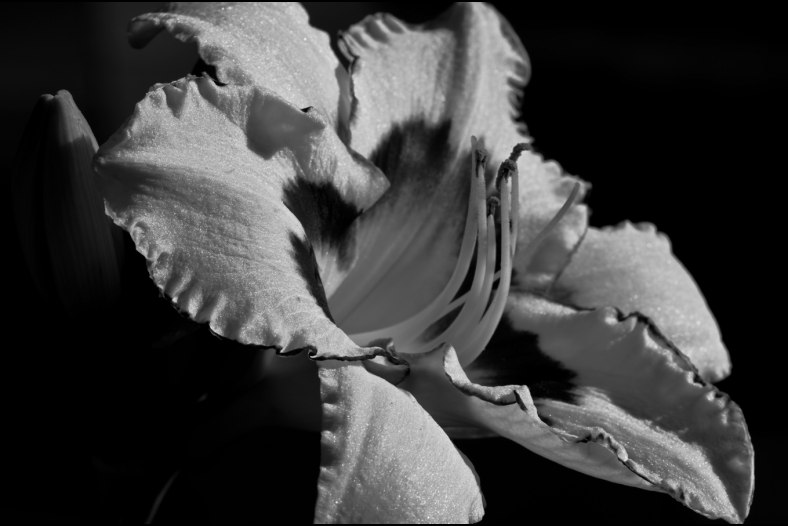bw lily