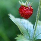 A Forrest Strawberry