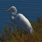 Great Egret Elegance