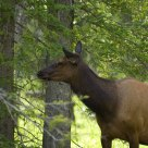 Cow elk