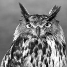 B&W owl