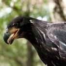 Pride Eagle