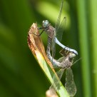 Dragonflies coupling