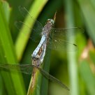 Dragonflies coupling