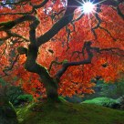 The Famous Maple Tree