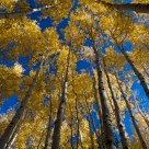 Hart Prairie Aspens