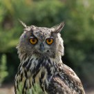 Eurasian Eagle-Owl
