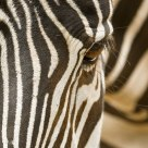 Zebras eye