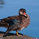 Duck Posing