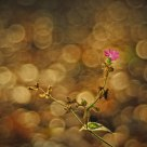 Silene in sea of bokeh