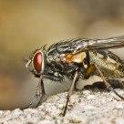 Fleshfly