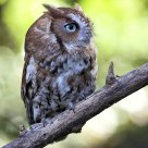 Eastern Screech Owl - Brown Phase