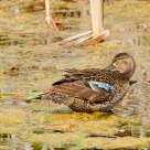 Female Blue-winged Teal Late Spring