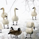 Ice out Tundra Swans