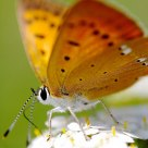 Butterfly from Lycaenidae family