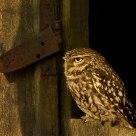 Litte owl