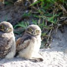 Puppies Burrowing Owl