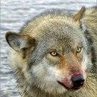 'Big, Bad (?) Wolf'