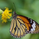 Butterfly - Common Tiger