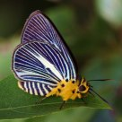 Butterfly - Pale Awlet