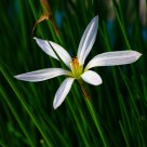 A White Flower (horizontal)