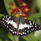 Butterfly -  Papilio demoleus