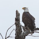Bald eagle in the morning