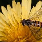 Hover fly on a dandelion