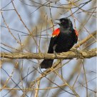 'Red Winged Blackbird'