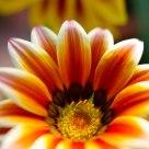 Medal Chrysanthemum