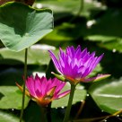 Lotus Flowers: Purple & Red