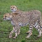 Hunting Cheetahs