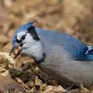 Blue Jay Gorging
