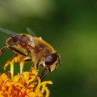 hover fly (1)