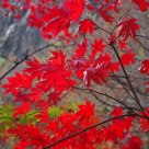 Radiant Red Maple Leaves