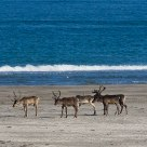 Reindeer at the beach in Finnmark