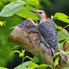Female RedBellied woodpecker