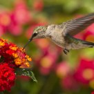 Juvenile  Ruby Throated hummingbird
