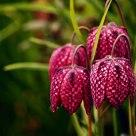 Fritillarias.