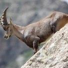 Bouquetin - Capra ibex