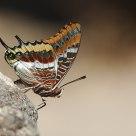 Pacha à deux queues - Charaxes jasius
