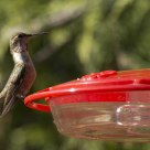 Hummer at the feeder
