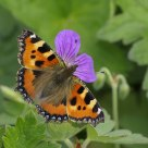 Small Tortoiseshell feeding on Geranium