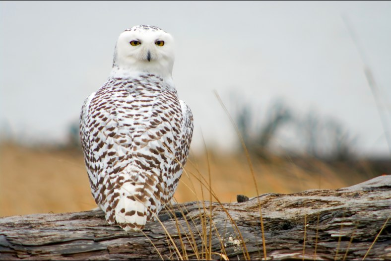 Snowy Owl Immigrant.